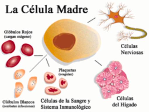 Células Madres Para La Impotencia Sexual
